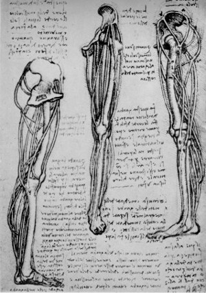 Drawings of a left leg (including knee) by Leonardo DaVinci. 1505.